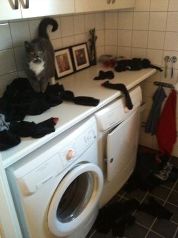 Grå katt har kuddkrigg med strumporna i mitt tvättrace!