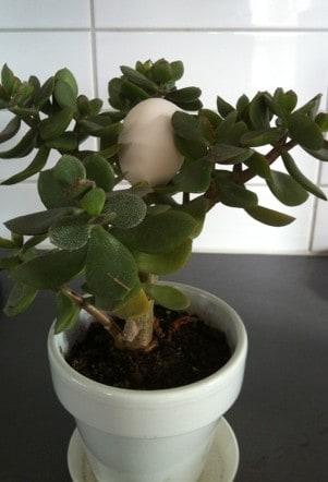 Äggplanta, Roliga påskbilder