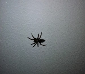 svenska spindlar, stor spindel, äcklig spindel i taket
