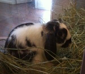 kanin svartvit med långa öron