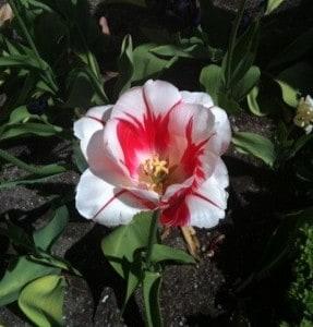 Tulpan, vit och röd blomma