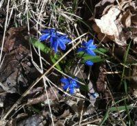 Blå blommor