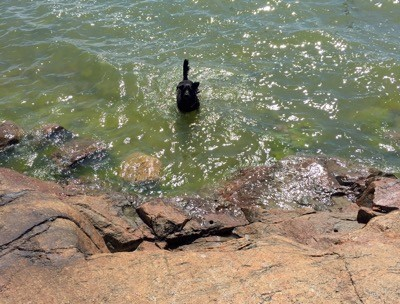 Hund badar på lantstället vid badberget. Bad på semestern