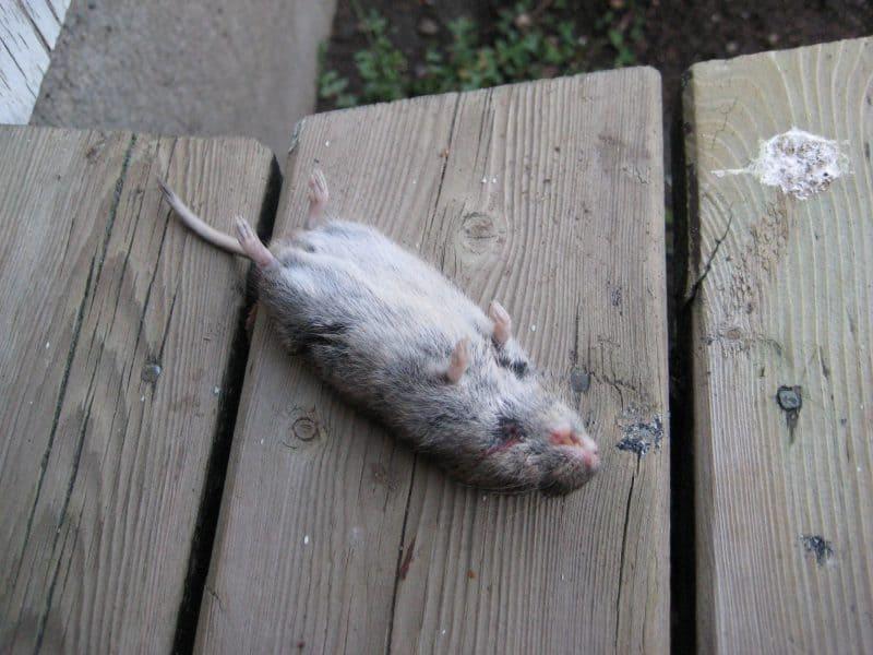 Död mus