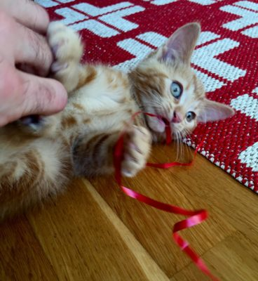 Orange katt leker med snöre