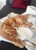 Trött orange kattunge