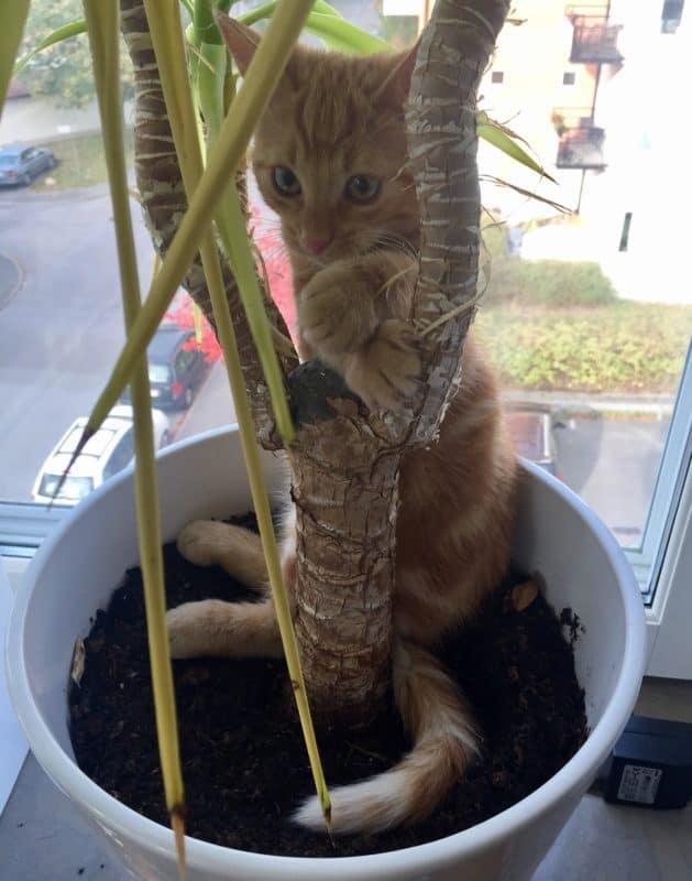Orange katt. Kattunge i blomkruka. Dum katt, roliga bilder på djur.