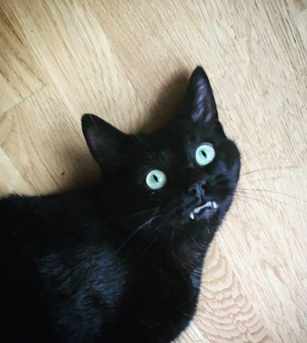 Min svarta katt Finkel visar tänderna