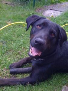 Svart hund, labradorblandning på gräsmatta. Minisemester