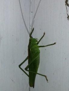 vårtbitare, stor grön insekt. Husdjur