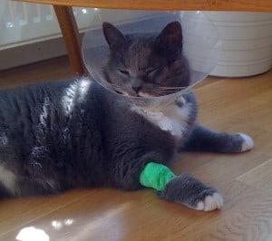Sjuk katt med strut. Allvarligt fall av klantighet.