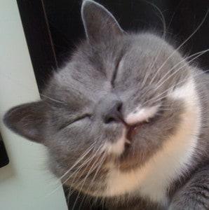 Grå katt, glad katt. Trasig katt!