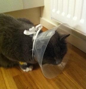 Katt med tratt på huvudet efter operation. Trasig familj