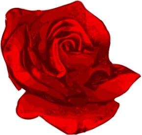 Ros, blomma. Glåmigt
