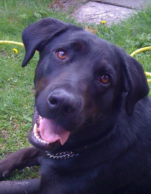 svart blandrashund, mest labrador