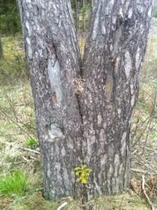 träd med två stammar, tall