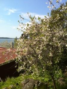 blommande körsbärsträd, vita blommor. Stannar hemma ett par dagar på grund av allergi.