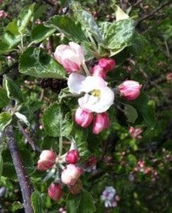 äppelblom, rosa blomma på träd