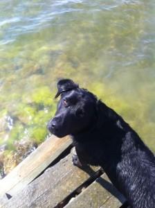 svart hund badar från en brygga