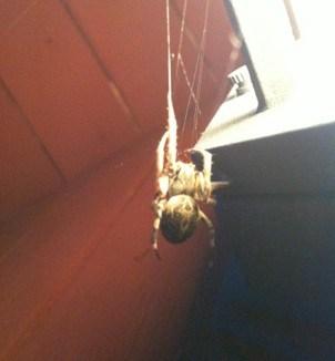 stor spindel, svenska spindlar