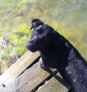 Labradorblandning, jag ska vara hundvakt i dag. Gå ut med hunden