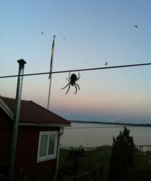 Stor husspindel i Sverige. Feta spindlar