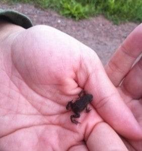 Väldigt liten groda i handen. Söta grodor!