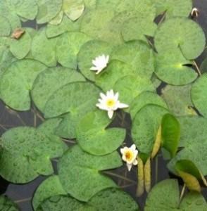 Vita näckrosor som växer vid båtvarvet på lantstället