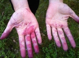 Händerna är blå efter att ha plockat blåbär