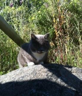 Solkatt, min grå luddskalle söker skugga under ett stuprör!