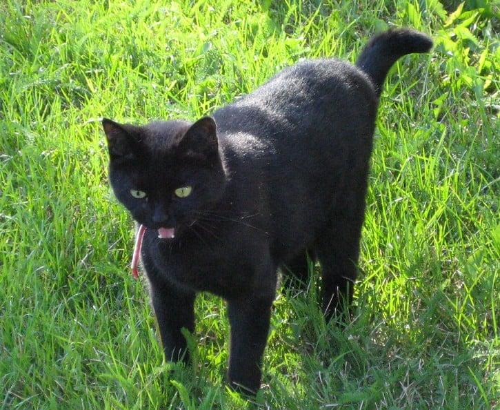 Svart katt i gräs