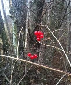 Röda bär i ett grått landskap