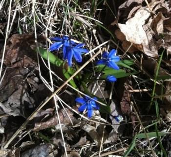 Blå blommor kommer upp på våren. Söndagspromenad