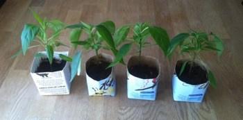 Plantor. Fyra små chiliplantor som R odlar hemma.