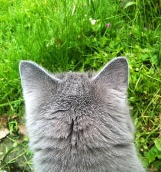 Söt grå katt på upptäcksfärd i gräset! En logistisk mardröm att flytta dem.