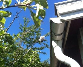Konstigt nät i ett träd. Häggspinnmal eller häggspinnare.