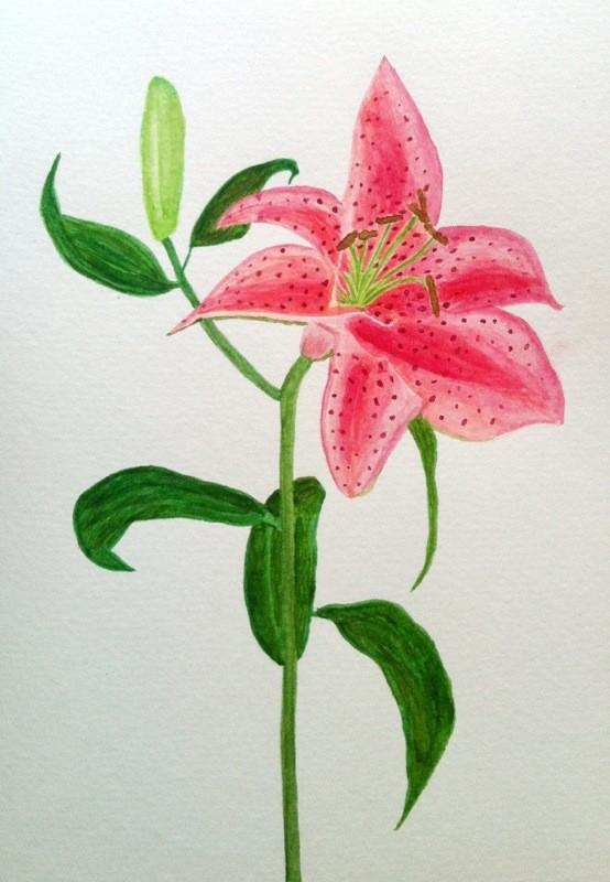 Rosa lilja i akvarell.