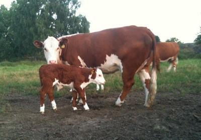 Ko med en kalv som bara är några dagar gammal
