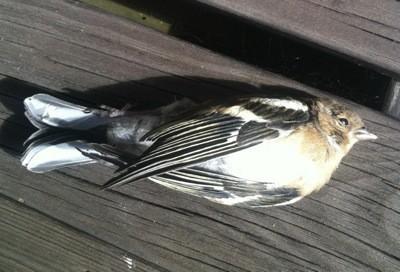 Död fågel. Den flög in i ett fönster.