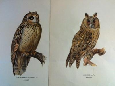 """""""Svenska fåglar, efter naturen och på sten ritade"""" av bröderna von Wright, tryckt i Stockholm av A. Börtzell på 20-talet. Fågelbilder, ugglor."""