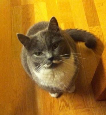 Grå katt som ser på när jag äter räkor...
