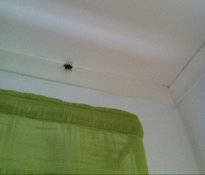 Spindel i taket. Monsterspindel.