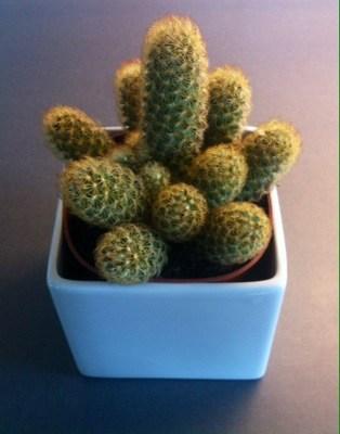 Kaktus. Presenter från älskaren!