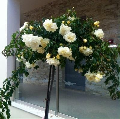 Rosor. Blommor på Rhodos