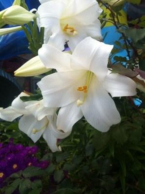 Vita liljor. Blommor på Rhodos