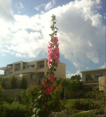 Gladiolus. Blommor på Rhodos