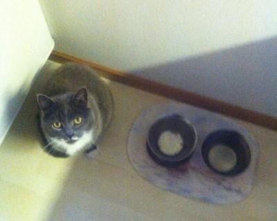 Grå katt vill ha mat. Är matskålen tom blir man orolig!