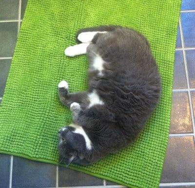 Grå katt vilar på matta. Provsvar från veterinären