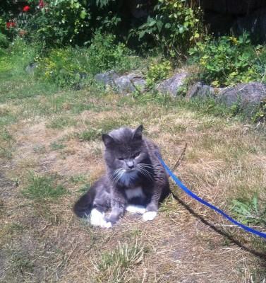 Grå katt i koppel på sin första promenad sedan operationen!