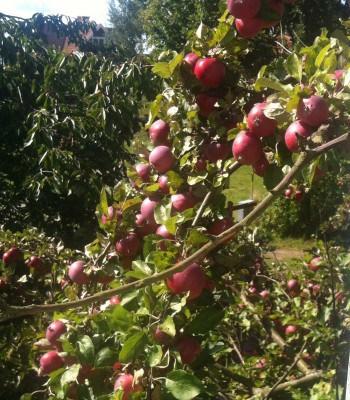 Äppelträd med många äpplen. Tänkte palla äpplen till en paj.